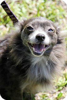 Pomeranian Mix Dog for adoption in Boynton Beach, Florida - Brandy