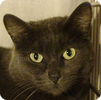 Domestic Shorthair Cat for adoption in El Cajon, California - Serena