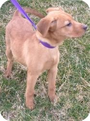 Labrador Retriever Mix Dog for adoption in Marlton, New Jersey - Red