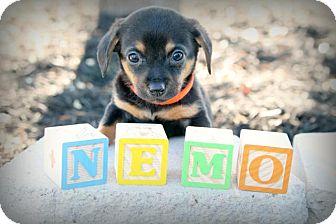 Dachshund Mix Puppy for adoption in Austin, Texas - Nemo