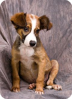Collie Mix Puppy for adoption in Anna, Illinois - ANDY
