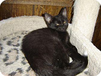 Domestic Shorthair Kitten for adoption in Grayslake, Illinois - Patience