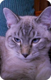 Siamese Cat for adoption in Chattanooga, Tennessee - Teddy