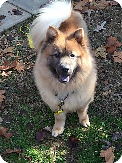 Keeshond/Chow Chow Mix Dog for adoption in Tucker, Georgia - Sophie