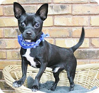 Chihuahua Mix Dog for adoption in Benbrook, Texas - Ziggy