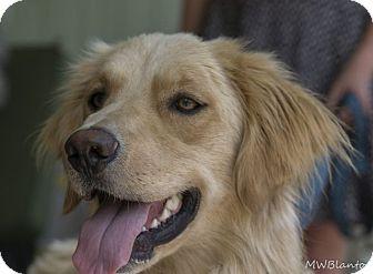 Golden Retriever Dog for adoption in Denver, Colorado - Charlie (aka Simon)
