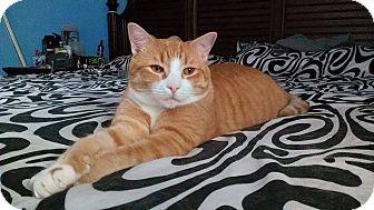 Domestic Shorthair Cat for adoption in Satellite Beach, Florida - Bentley
