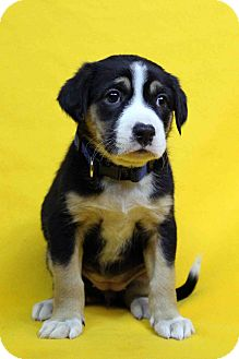 German Shepherd Dog Mix Puppy for adoption in Westminster, Colorado - Hope
