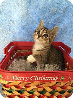 Domestic Shorthair Kitten for adoption in Fredericksburg, Virginia - Maybelline