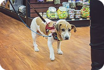 Jack Russell Terrier Mix Dog for adoption in St. Catharines, Ontario - Daisy