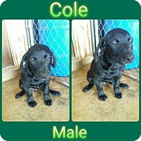 Adopt A Pet :: Cole in Ct - Manchester, CT
