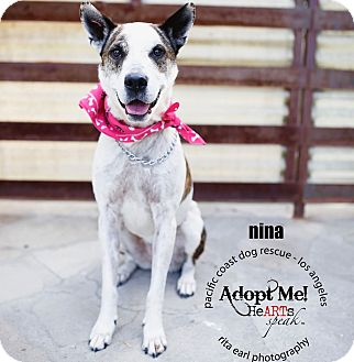 Australian Cattle Dog/Border Collie Mix Dog for adoption in Woodland Hills, California - ADOPTION PENDING-Nina-VIDEO