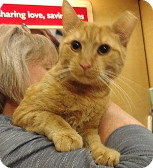 Domestic Shorthair Cat for adoption in Colmar, Pennsylvania - Big Red
