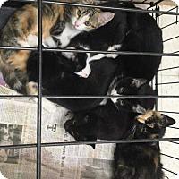 Adopt A Pet :: Eclipse - Aurora, CO