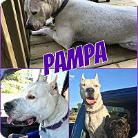 Adopt A Pet :: Pampa - Edmonton, AB