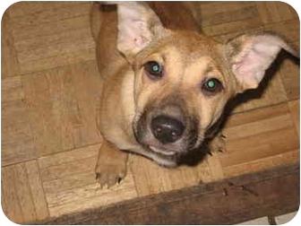 German Shepherd Dog/Rhodesian Ridgeback Mix Puppy for adoption in Buffalo, New York - Pebbles: Loves Kids!