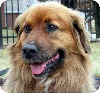 Golden Retriever/Chow Chow Mix Dog for adoption in Overland Park, Kansas - Maggie