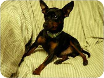 Miniature Pinscher/Chihuahua Mix Dog for adoption in South Euclid, Ohio - Donald