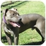 Photo 2 - Pit Bull Terrier Mix Dog for adoption in Petaluma, California - Remi