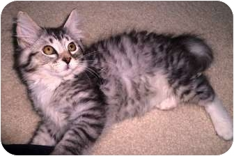 Maine Coon Kitten for adoption in Naperville, Illinois - thor