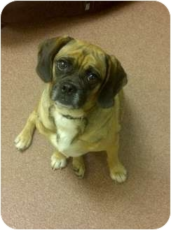"Pug/Beagle Mix Dog for adoption in Baltimore, Maryland - Dorothy ""Dottie"""