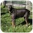 Photo 4 - Doberman Pinscher Dog for adoption in Greensboro, North Carolina - Rumba