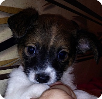 Rat Terrier/Chihuahua Mix Puppy for adoption in ST LOUIS, Missouri - Tommy