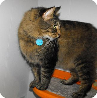 Domestic Longhair Cat for adoption in Grand Rapids, Michigan - Duncan