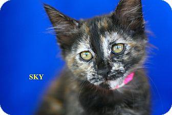 Domestic Shorthair Kitten for adoption in Coronado, California - Sky