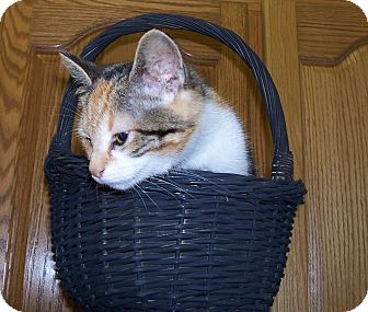 Calico Kitten for adoption in Horseshoe Bend, Arkansas - FRIZZLE - LOVELY CALICO