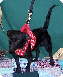 Terrier (Unknown Type, Small) Mix Dog for adoption in Concord, North Carolina - Toto