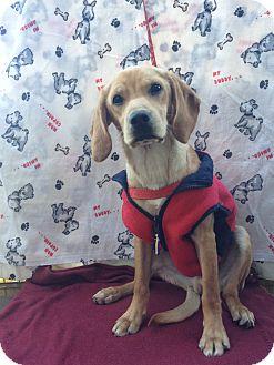 Beagle Mix Puppy for adoption in El Cajon, California - BRUNO