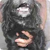 Adopt A Pet :: Shelby - Chandler, AZ