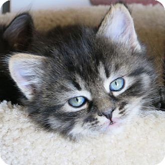 Domestic Mediumhair Kitten for adoption in Toronto, Ontario - Buttertoffee