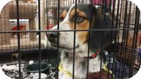 Bluetick Coonhound Mix Dog for adoption in Lexington, Kentucky - Apollo