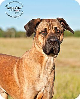 Cane Corso Dog for adoption in Virginia Beach, Virginia - Cain