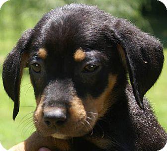 Miniature Pinscher Mix Puppy for adoption in Staunton, Virginia - Max