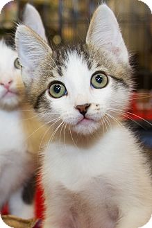 Domestic Shorthair Kitten for adoption in Irvine, California - Gibbs