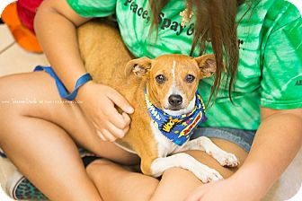 Chihuahua/Rat Terrier Mix Dog for adoption in Homestead, Florida - Brownie