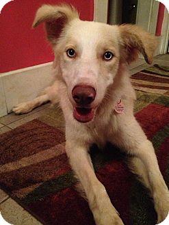 Husky/Australian Shepherd Mix Puppy for adoption in Toronto/GTA, Ontario - NIKKIE