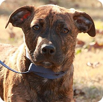 Mountain Cur/Rottweiler Mix Puppy for adoption in Spring Valley, New York - Hugo