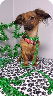 Dachshund Mix Puppy for adoption in Urbana, Ohio - Tito