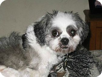 Shih Tzu Dog for adoption in Tallahassee, Florida - Zoi - ADOPTED