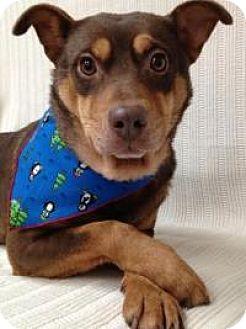 Miniature Pinscher/Terrier (Unknown Type, Medium) Mix Dog for adoption in Briarcliff Manor, New York - Morgan