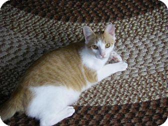 Domestic Shorthair Cat for adoption in Breinigsville, Pennsylvania - Impy