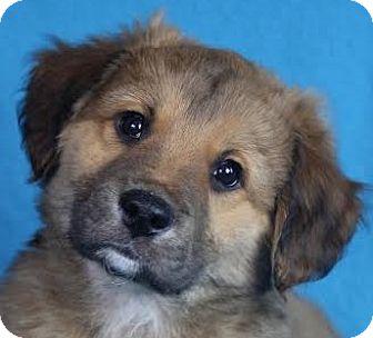 Retriever (Unknown Type) Mix Puppy for adoption in Minneapolis, Minnesota - Holt