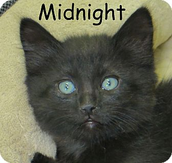 Domestic Mediumhair Kitten for adoption in Warren, Pennsylvania - Midnight