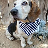 Beagle Dog for adoption in Apple Valley, California - Fletcher