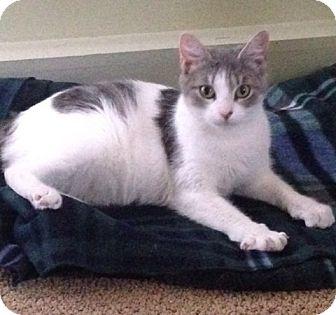 Domestic Shorthair Cat for adoption in Plainville, Massachusetts - Lila