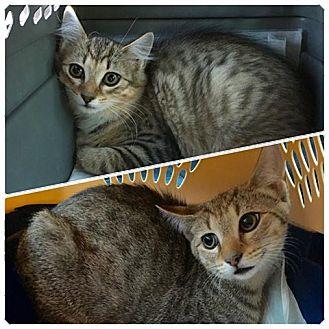 Domestic Shorthair Kitten for adoption in Plantsville, Connecticut - Deva